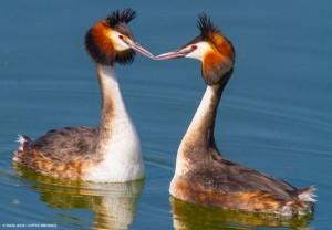 Δύο σκουφοβουτηχτάρια ερωτοτροπούν στη λιμνοθάλασσα Μεσολογγίου